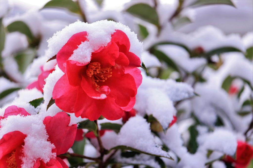 雪が積もった寒椿