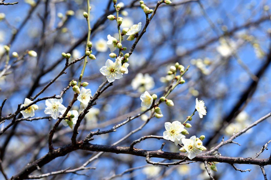 ほころぶ梅の花