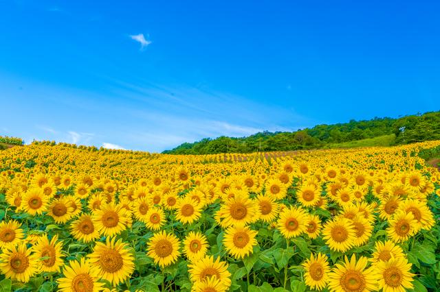 ひまわり畑と夏の日